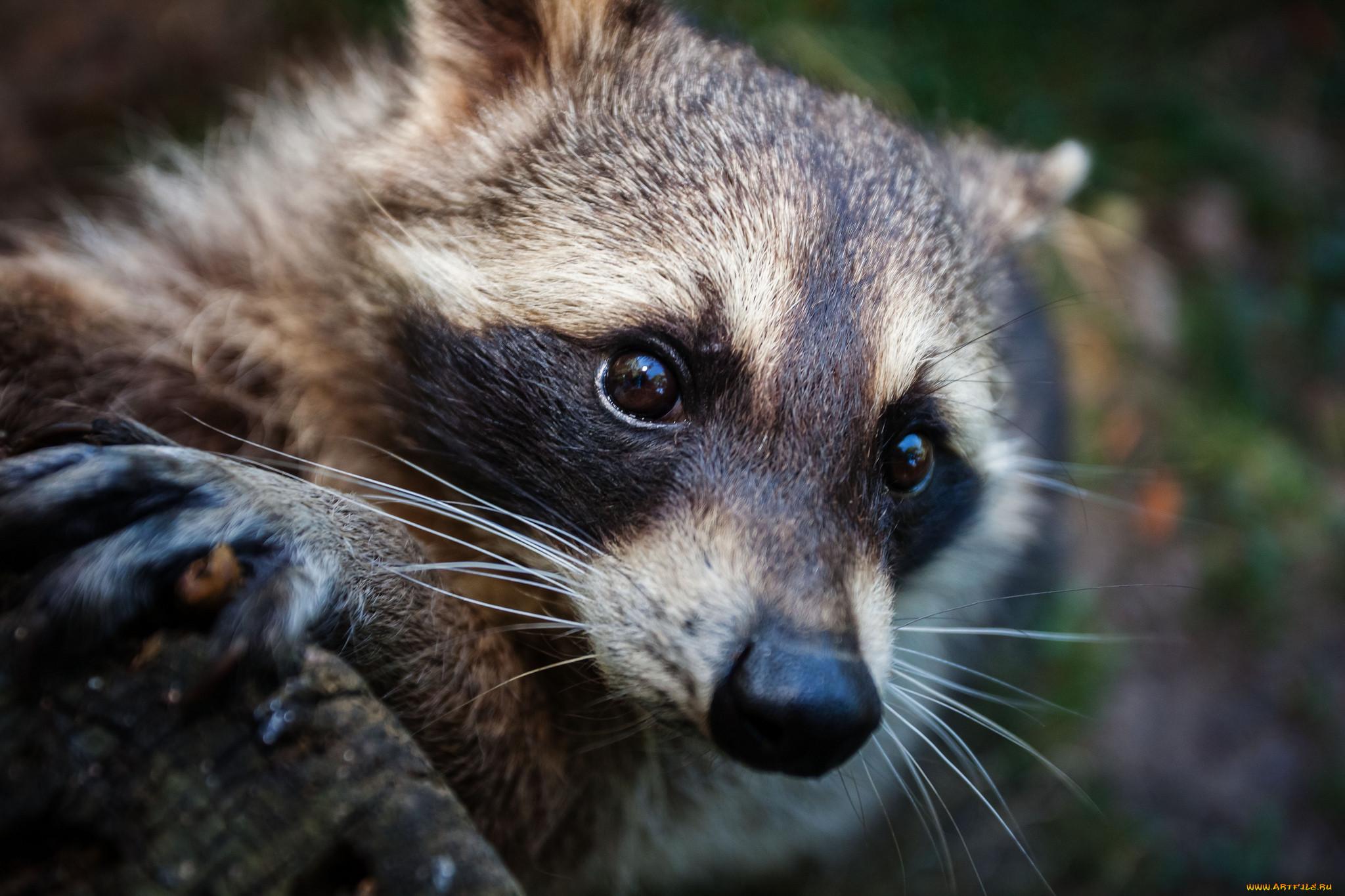 удобно смотреть картинки про животных енот ежедневная деятельность связана